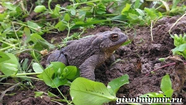 Жаба-земляная-Образ-жизни-и-среда-обитания-земляной-жабы-8