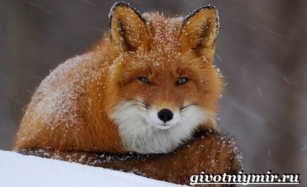 Животные-Европы-Описание-названия-и-особенности-животных-Европы-11
