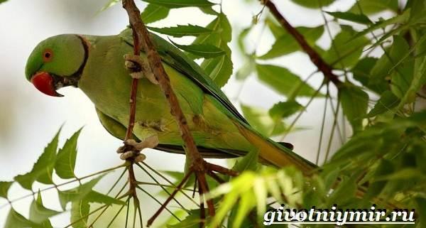 Александрийский-попугай-Описание-особенности-виды-и-уход-за-Александрийским-попугаем-1