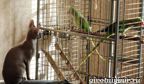 Александрийский-попугай-Описание-особенности-виды-и-уход-за-Александрийским-попугаем-20
