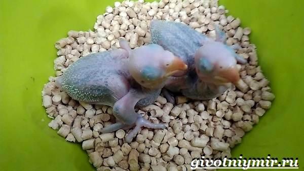 Александрийский-попугай-Описание-особенности-виды-и-уход-за-Александрийским-попугаем-24