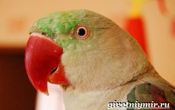 Александрийский-попугай-Описание-особенности-виды-и-уход-за-Александрийским-попугаем-3