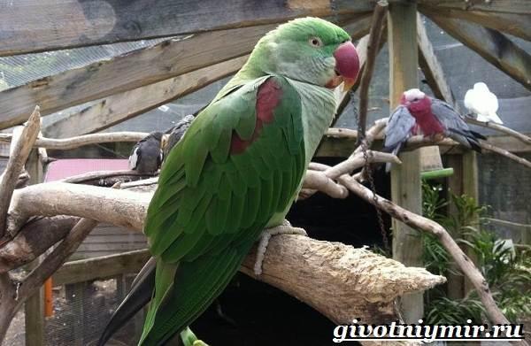 Александрийский-попугай-Описание-особенности-виды-и-уход-за-Александрийским-попугаем-4