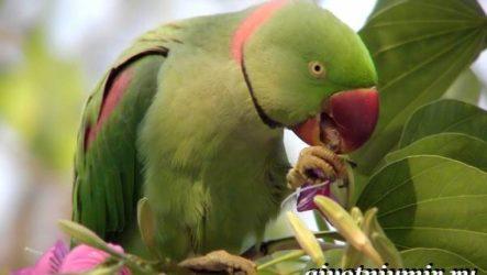 Александрийский попугай. Описание, особенности, виды и уход за Александрийским попугаем