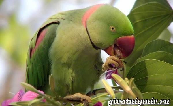 Александрийский-попугай-Описание-особенности-виды-и-уход-за-Александрийским-попугаем-6