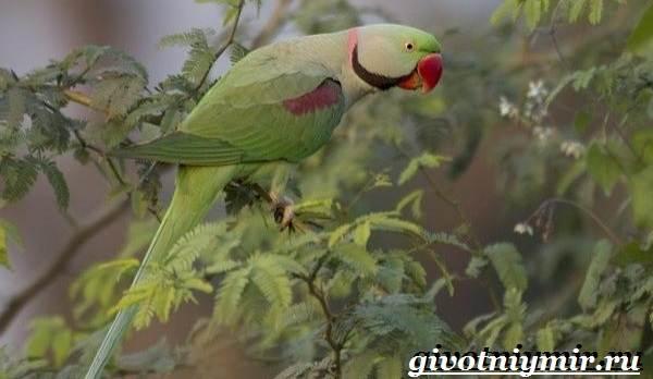 Александрийский-попугай-Описание-особенности-виды-и-уход-за-Александрийским-попугаем-7