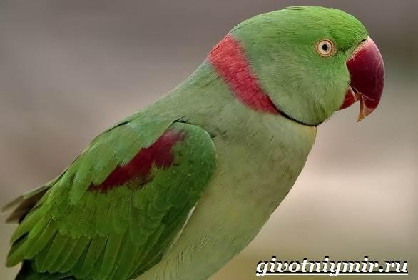 Александрийский-попугай-Описание-особенности-виды-и-уход-за-Александрийским-попугаем-8