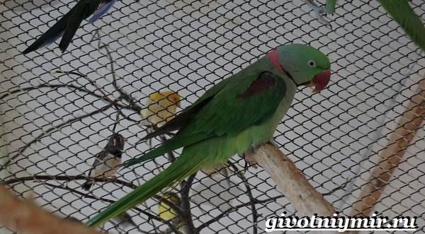 Александрийский-попугай-Описание-особенности-виды-и-уход-за-Александрийским-попугаем-9