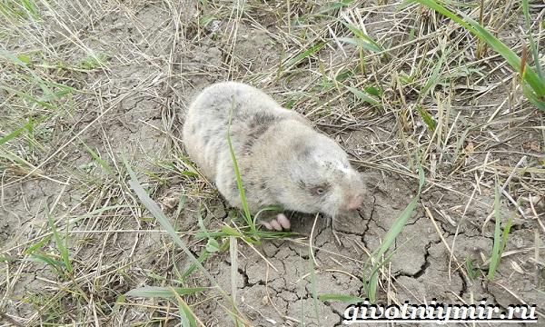 Цокор-животное-Образ-жизни-и-среда-обитания-цокора-13