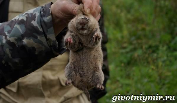 Цокор-животное-Образ-жизни-и-среда-обитания-цокора-7