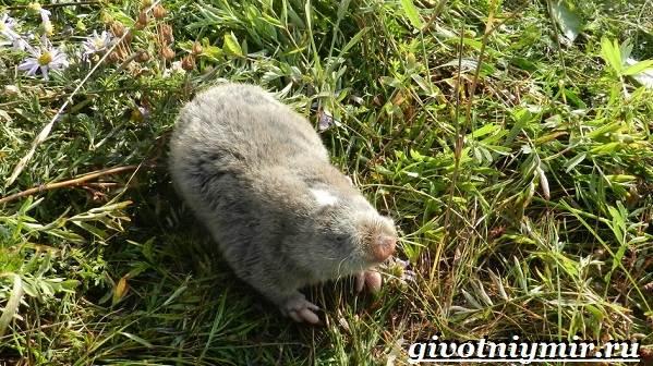 Цокор-животное-Образ-жизни-и-среда-обитания-цокора-8