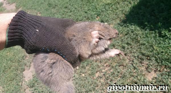 Цокор-животное-Образ-жизни-и-среда-обитания-цокора-9
