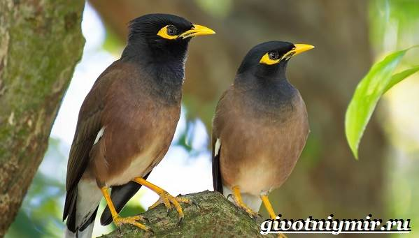 Майна-птица-Образ-жизни-и-среда-обитания-птицы-майны-1