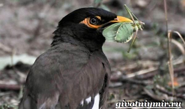 Майна-птица-Образ-жизни-и-среда-обитания-птицы-майны-11