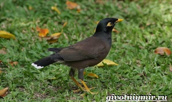 Майна-птица-Образ-жизни-и-среда-обитания-птицы-майны-14