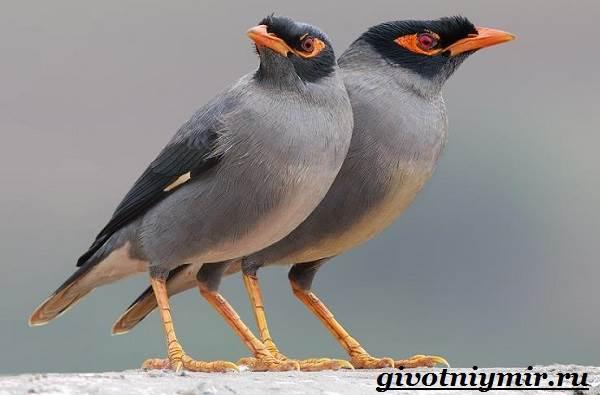 Майна-птица-Образ-жизни-и-среда-обитания-птицы-майны-19