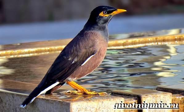 Майна-птица-Образ-жизни-и-среда-обитания-птицы-майны-2
