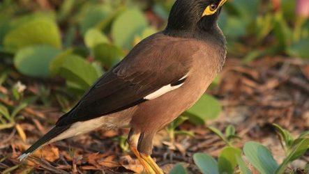 Майна птица. Образ жизни и среда обитания птицы майны