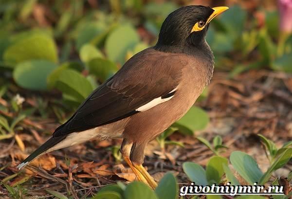 Майна-птица-Образ-жизни-и-среда-обитания-птицы-майны-21
