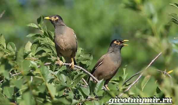 Майна-птица-Образ-жизни-и-среда-обитания-птицы-майны-23
