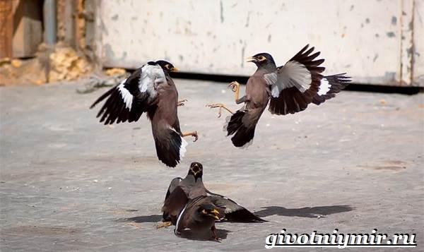 Майна-птица-Образ-жизни-и-среда-обитания-птицы-майны-3