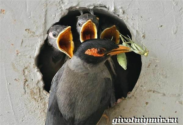 Майна-птица-Образ-жизни-и-среда-обитания-птицы-майны-9