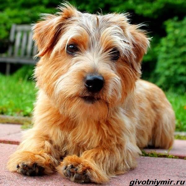 Норфолк-терьер-собака-Описание-особенности-уход-и-цена-норфолк-терьера-1