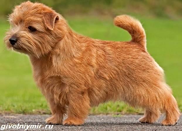 Норфолк-терьер-собака-Описание-особенности-уход-и-цена-норфолк-терьера-2