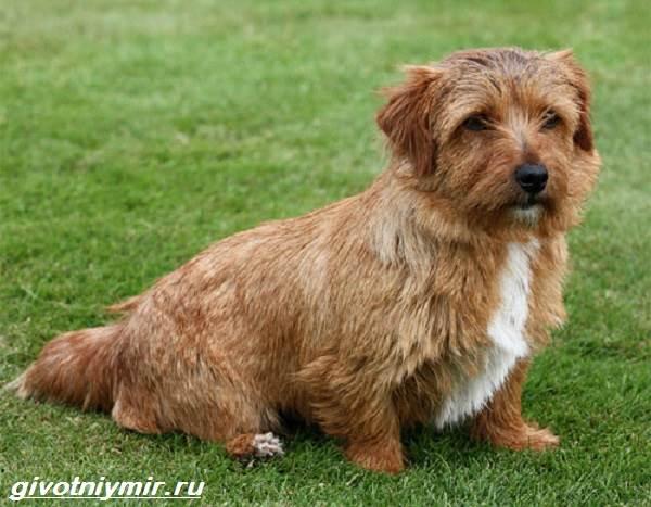 Норфолк-терьер-собака-Описание-особенности-уход-и-цена-норфолк-терьера-3