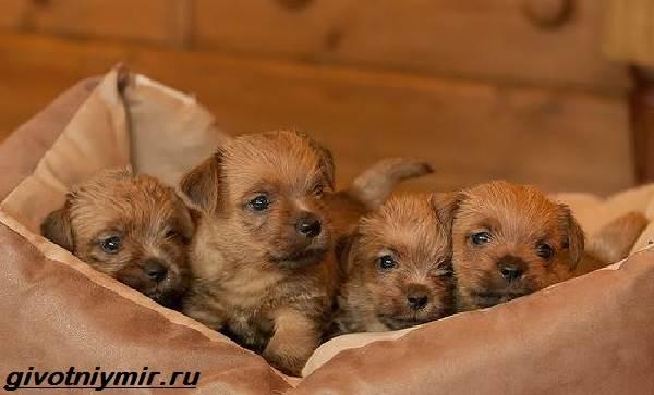 Норфолк-терьер-собака-Описание-особенности-уход-и-цена-норфолк-терьера-4