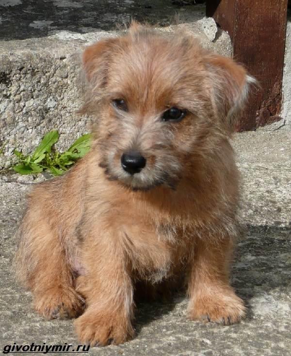 Норфолк-терьер-собака-Описание-особенности-уход-и-цена-норфолк-терьера-5