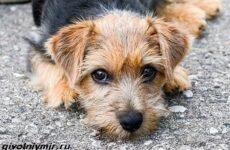 Норфолк терьер собака. Описание, особенности, уход и цена норфолк терьера