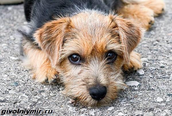 Норфолк-терьер-собака-Описание-особенности-уход-и-цена-норфолк-терьера-6