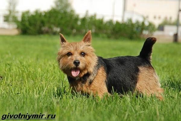 Норфолк-терьер-собака-Описание-особенности-уход-и-цена-норфолк-терьера-7