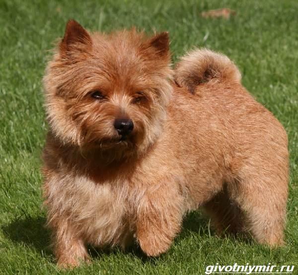 Норфолк-терьер-собака-Описание-особенности-уход-и-цена-норфолк-терьера-9