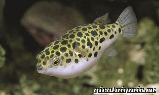 Рыбка-карликовый-тетрадон-Описание-особенности-виды-и-цена-тетрадона-11