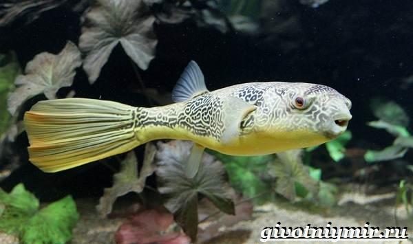 Рыбка-карликовый-тетрадон-Описание-особенности-виды-и-цена-тетрадона-15