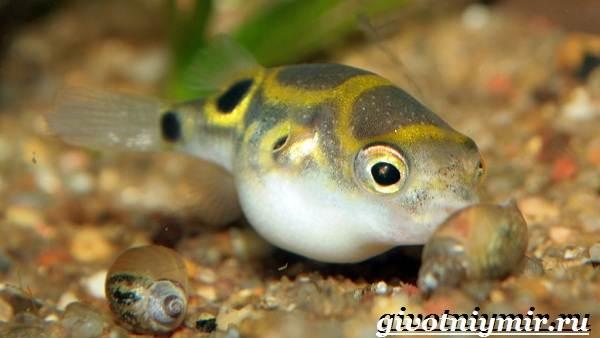 Рыбка-карликовый-тетрадон-Описание-особенности-виды-и-цена-тетрадона-2