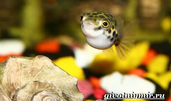 Рыбка-карликовый-тетрадон-Описание-особенности-виды-и-цена-тетрадона-3