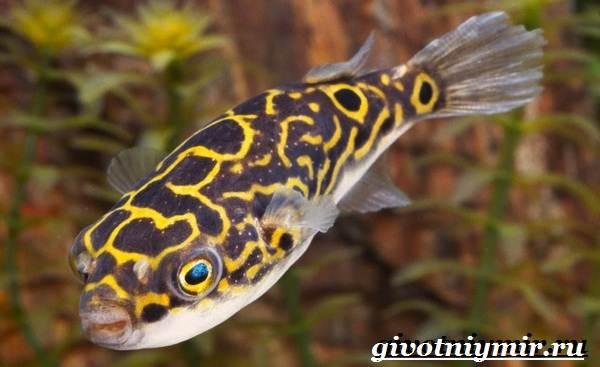 Рыбка-карликовый-тетрадон-Описание-особенности-виды-и-цена-тетрадона-6