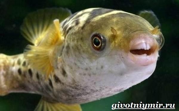 Рыбка-карликовый-тетрадон-Описание-особенности-виды-и-цена-тетрадона-9