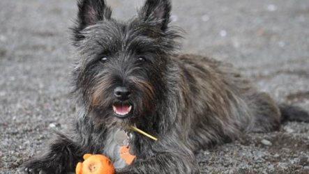 Скай терьер собака. Описание, особенности, уход и цена скай терьера