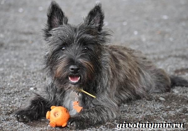 Скай-терьер-собака-Описание-особенности-уход-и-цена-скай-терьера-1