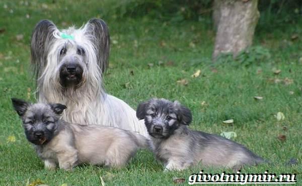 Скай-терьер-собака-Описание-особенности-уход-и-цена-скай-терьера-10