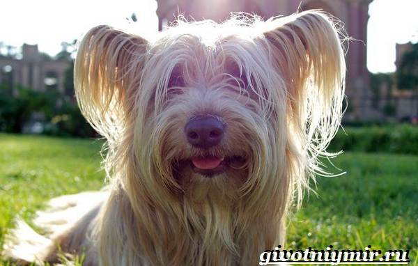 Скай-терьер-собака-Описание-особенности-уход-и-цена-скай-терьера-2