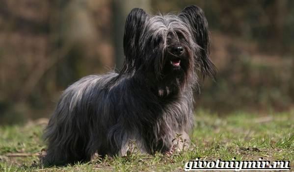 Скай-терьер-собака-Описание-особенности-уход-и-цена-скай-терьера-3