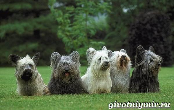 Скай-терьер-собака-Описание-особенности-уход-и-цена-скай-терьера-4