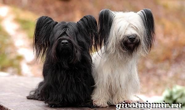 Скай-терьер-собака-Описание-особенности-уход-и-цена-скай-терьера-5