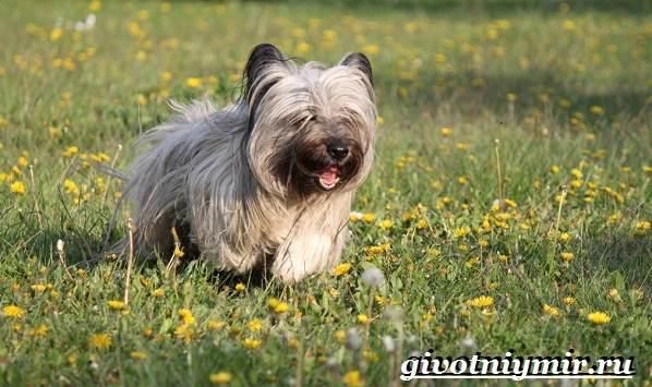 Скай-терьер-собака-Описание-особенности-уход-и-цена-скай-терьера-6