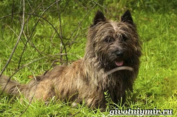 Скай-терьер-собака-Описание-особенности-уход-и-цена-скай-терьера-7